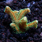 ORA® Green Birdsnest Coral (click for more detail)