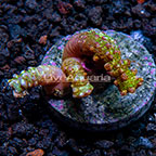 USA Cultured Snake Polyps (click for more detail)