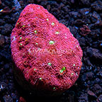 LiveAquaria® Atlantis Christmas Chalice Coral (click for more detail)