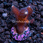 ORA® Purple Stylophora Coral (click for more detail)