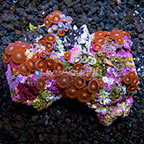 Aussie Black Widow Colony Polyp Rock Zoanthus IM (click for more detail)