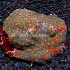War Coral Indonesia (click for more detail)