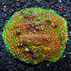 Astreopora Coral Indonesia (click for more detail)