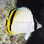 Vagabond Butterflyfish (click for more detail)