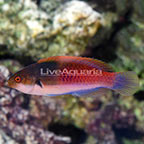 Bluehead Fairy Wrasse Terminal Phase Male (click for more detail)