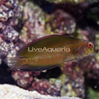 Fijian Sailfin Blenny (click for more detail)