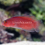 Red Serosa Dottyback (click for more detail)