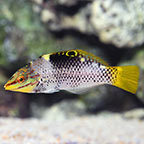 Marble Hortulanus Wrasse, Transitioning (click for more detail)