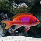 Squareback Anthias Male (click for more detail)