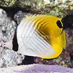 Auriga Butterflyfish (click for more detail)