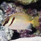 Blue-Lined Rabbitfish (click for more detail)