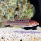 Sunset Wrasse Juvenile (click for more detail)