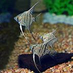 Blue Leopard Angelfish (Group of 3) (click for more detail)