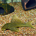 Large Green Phantom (L-200) Plecostomus (click for more detail)