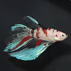 Longfin Koi Betta, Male (click for more detail)
