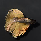 Paradise Halfmoon Betta [Blemish] (click for more detail)