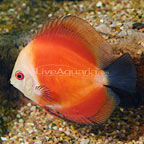 Red Marlboro Discus (click for more detail)