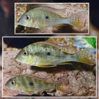 Geophagus Altifrons Cichlid (Group of 3) (click for more detail)