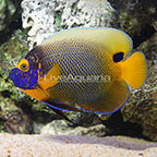 Blue Face Angelfish Adult [Blemish] (click for more detail)