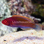 Ruby Head Fairy Wrasse Terminal Phase Male (click for more detail)