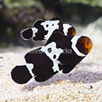 ORA® Captive-Bred Black Snowflake Ocellaris Clownfish (Bonded Pair) (click for more detail)