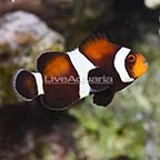 USA Captive-Bred F1 Darwin Black Ocellaris Clownfish (click for more detail)