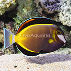 Powder Brown Tang (click for more detail)