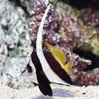 Heniochus Black and White Butterflyfish (click for more detail)