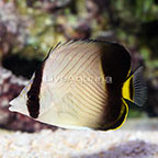 Black-Finned Butterflyfish (click for more detail)