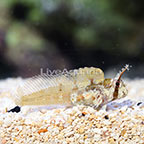 Horned Blenny (click for more detail)