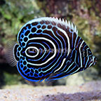 African Emperor Angelfish Juvenile [Blemish] (click for more detail)