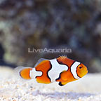 ORA® Captive-Bred Picasso Percula Clownfish [Blemish] (click for more detail)