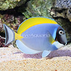 Powder Blue Tang  (click for more detail)