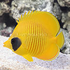 Golden Semilarvatus Butterflyfish (click for more detail)