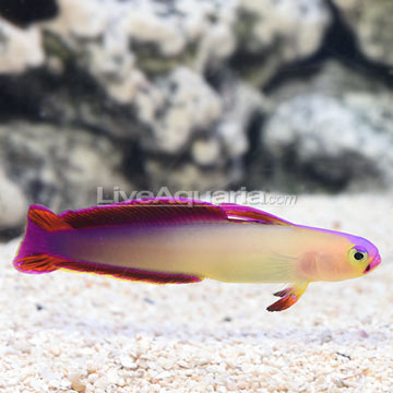 Exquisite Firefish  (click for more detail)