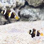 Captive-Bred Latezonatus Clownfish (Bonded Pair) (click for more detail)