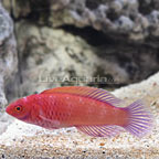 Red Velvet Fairy Wrasse Terminal Phase Male (click for more detail)
