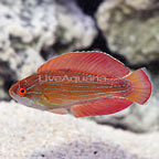 Eight Line Flasher Wrasse Terminal Phase Male (click for more detail)