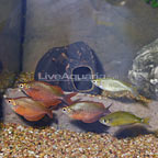 Millennium Red Rainbowfish (Group of 5) (click for more detail)