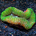 Aussie Lobed Brain Coral  (click for more detail)