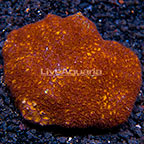 Aussie Leptastrea Coral (click for more detail)