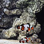 ORA® Captive-Bred Black Ice x Mocha Ocellaris Clownfish (Select Pair) (click for more detail)
