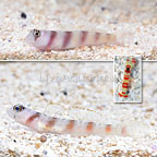 Steinitz Goby (Bonded Pair) with Red Banded Snapping Shrimp (click for more detail)