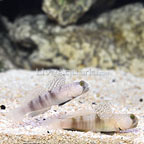 ORA® Captive-Bred Watchman Goby (Bonded Pair) (click for more detail)