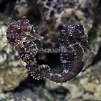 ORA® Captive-Bred Lined Seahorse (Bonded Pair) (click for more detail)