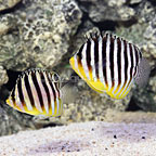 Marshall Islands Multibar Angelfish (Bonded Pair) (click for more detail)