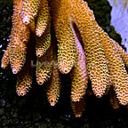 Aussie Digitate Acropora Coral  (click for more detail)