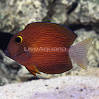 White Tail Bristletooth Tang (click for more detail)