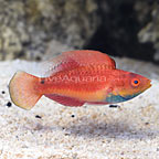 Blue Throat Sailfin Hybrid Fairy Wrasse, TP Male (click for more detail)