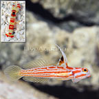 USA Captive-Bred Yasha Goby (Female) with Red Banded Pistol Shrimp (click for more detail)